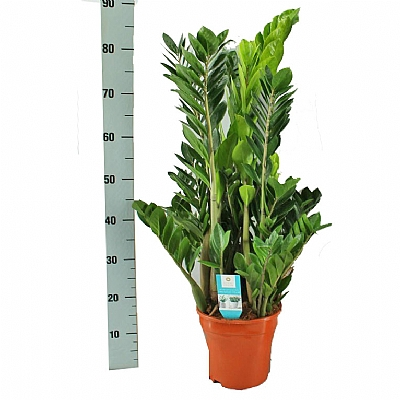 Zamioculcas 85 cm